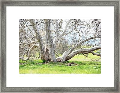 Spring Sycamore Tree Framed Print