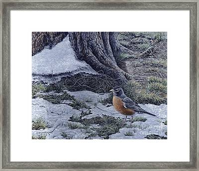 Spring Thaw - American Robin Framed Print by Craig Carlson