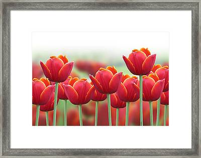 Spring Tulip Flower Background Framed Print by Angela Waye