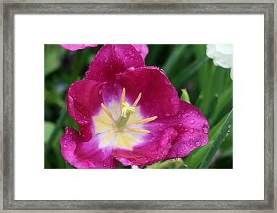 Spring Tulips 47 Framed Print by Pamela Critchlow