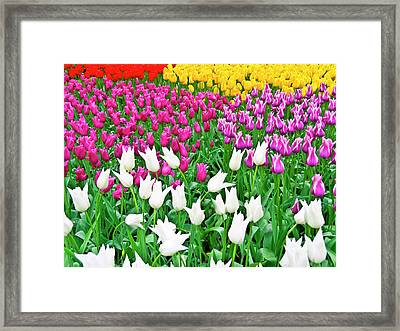 Spring Tulips Flower Field II Framed Print by Artecco Fine Art Photography