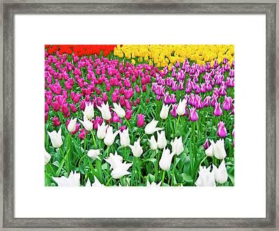 Spring Tulips Flower Field II Framed Print