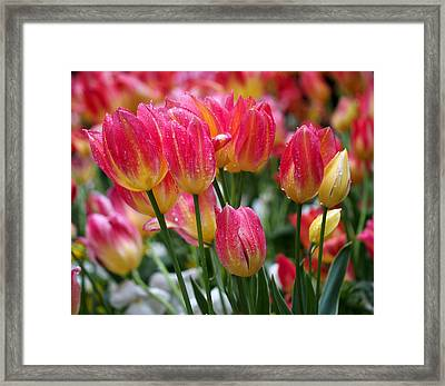 Spring Tulips In The Rain Framed Print by Rona Black