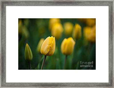 Spring Tulips Yellow Framed Print