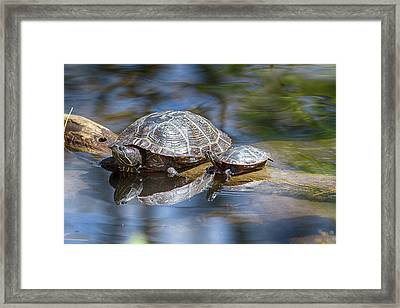 Spring Turtle Baby Framed Print by John Haldane