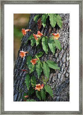 Framed Print featuring the photograph Vinery by Skip Willits