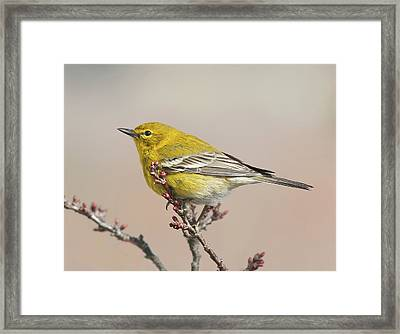Framed Print featuring the photograph Spring Warbler 1 2017 by Lara Ellis