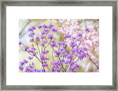 Framed Print featuring the photograph Spring Watercolors. Blooming Rhododendron  by Jenny Rainbow