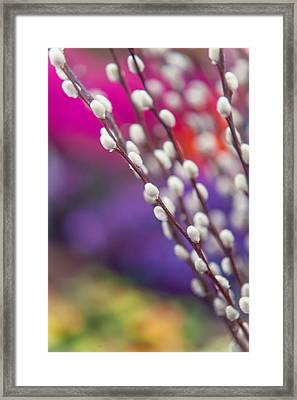 Spring Willow Branch Of White Furry Catkins Framed Print by Jenny Rainbow