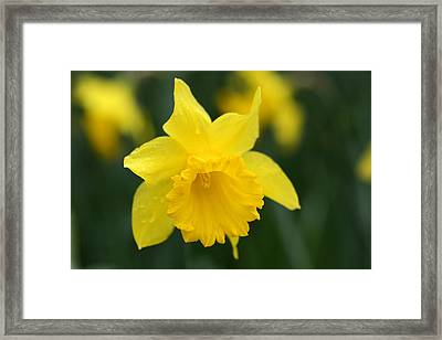 Spring Yellow Daffodils Flowers Framed Print