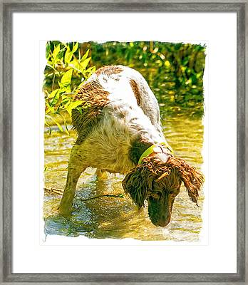 Springer Spaniel Field Framed Print