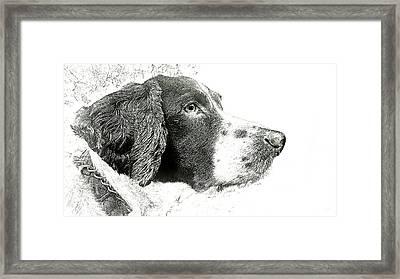 Springer Spaniel Framed Print by Phil Koch