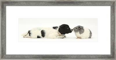 Springer Spaniel Puppy And Guinea Pig Framed Print by Mark Taylor