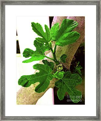 Springing Figtree Leaves Framed Print by Don Pedro De Gracia