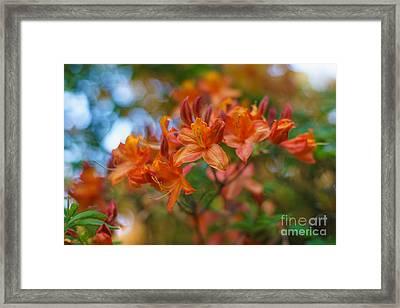 Springs Azaleas Colors Framed Print