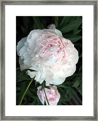 Framed Print featuring the photograph Springs Peony by Carol Sweetwood