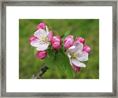 Springtime Apple Blossom Framed Print by Gill Billington