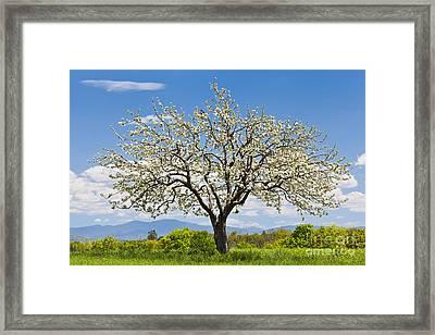 Springtime Apple Tree Framed Print