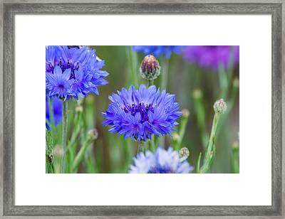Springtime Blues Framed Print
