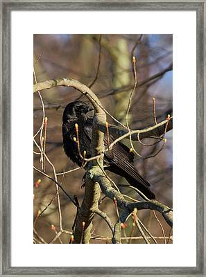 Framed Print featuring the photograph Springtime Crow by Bill Wakeley