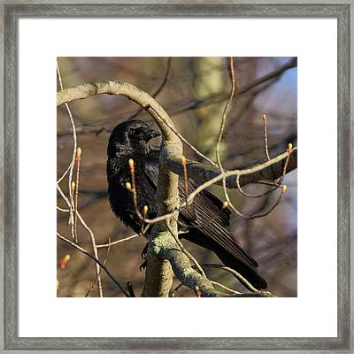 Framed Print featuring the photograph Springtime Crow Square by Bill Wakeley