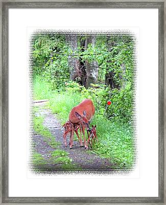 Springtime Moment - Whitetail Deer And Fawns Framed Print