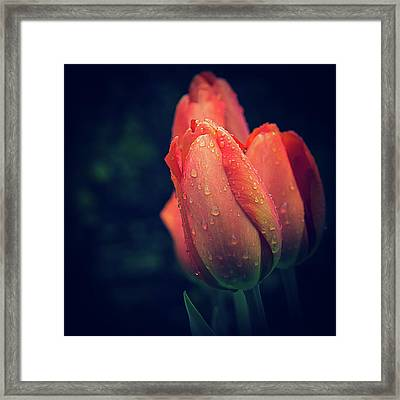 Springtime Orange Tulips With Drops Framed Print by Julie Palencia