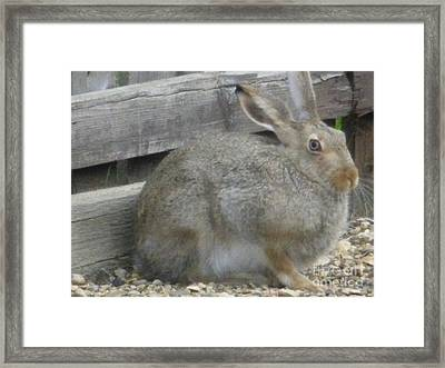 Springtime Rabbit Framed Print by Sonya Chalmers