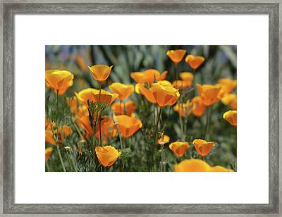 Framed Print featuring the photograph Springtime  Super Bloom In California by Cliff Wassmann