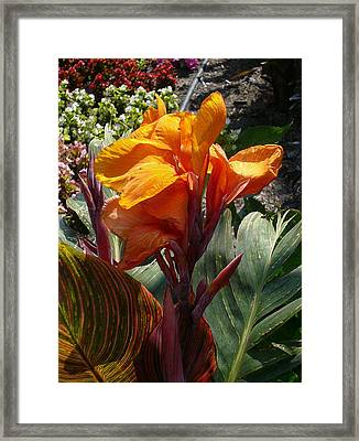 Sprouting Fireburst Framed Print by Connie Young