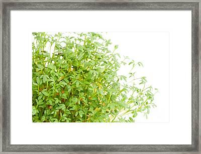 Sprouts Of Lepidium Sativum Or Cress Growing  Framed Print