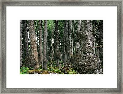Spruce Burls Olympic National Park Wa Framed Print