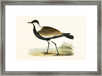 Spur Winged Plover Framed Print by English School