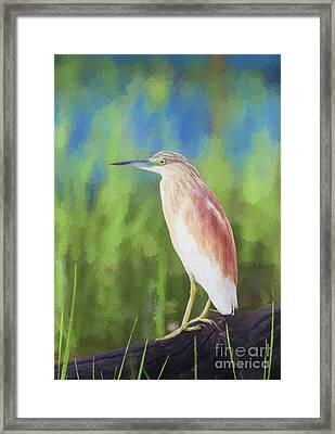 Squacco Heron Ardeola Ralloides Framed Print