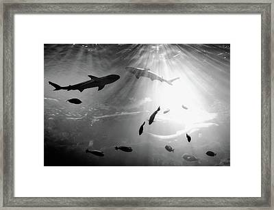 Squales Fish Framed Print by Xamah Image