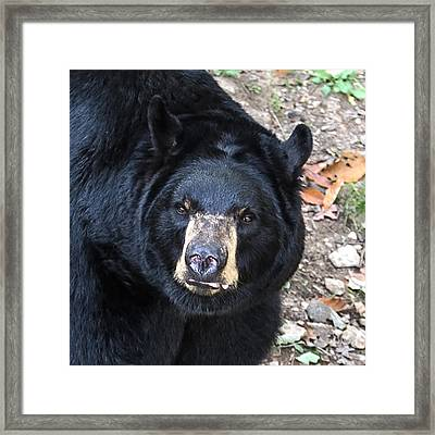 Square Bear Stare Framed Print by John Haldane