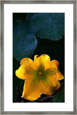 Framed Print featuring the photograph Squash Blossom by Lenore Senior