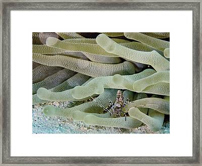 Squat Anemone Shrimp Framed Print