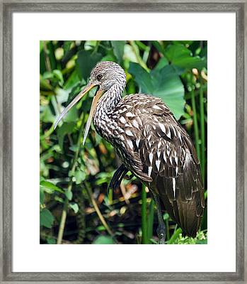 Squawk Framed Print by Rose  Hill