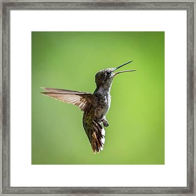 Squawking Humming Bird Framed Print by Paul Freidlund