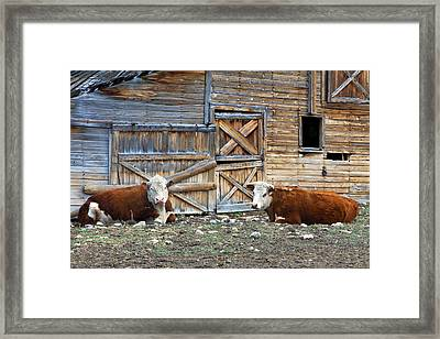 Squires Herefords By The Rustic Barn Framed Print by Karon Melillo DeVega