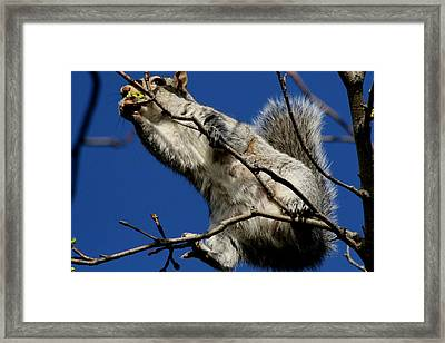 Squirrel 5 Up The Tree Framed Print