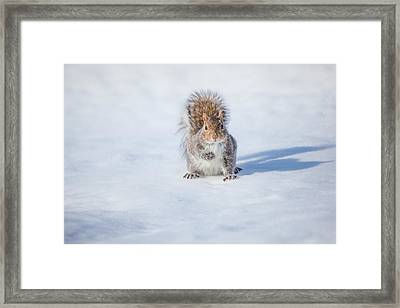 Squirrel And His Shadow Framed Print by Karol Livote