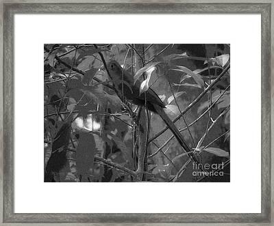 Squirrel Cuckoo  Framed Print