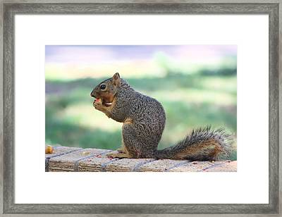 Squirrel Eating Crab Apple Framed Print by Colleen Cornelius