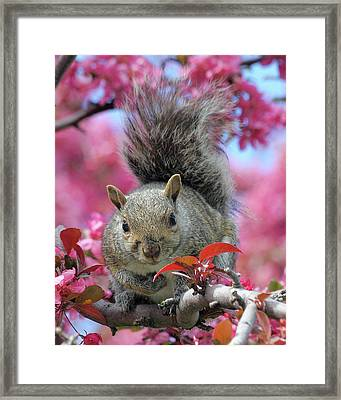 Framed Print featuring the photograph Squirrel In Apple Blossoms by Doris Potter