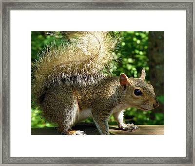 Squirrel In The Sunshine Framed Print by Rose  Hill