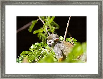 Squirrel Monkey Youngster Framed Print by Afrodita Ellerman