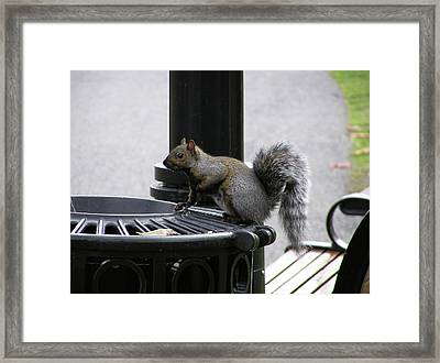 Squirrel On Garbage Can Framed Print by Richard Mitchell