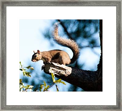 Squirrel On Limb Framed Print by Bill Perry